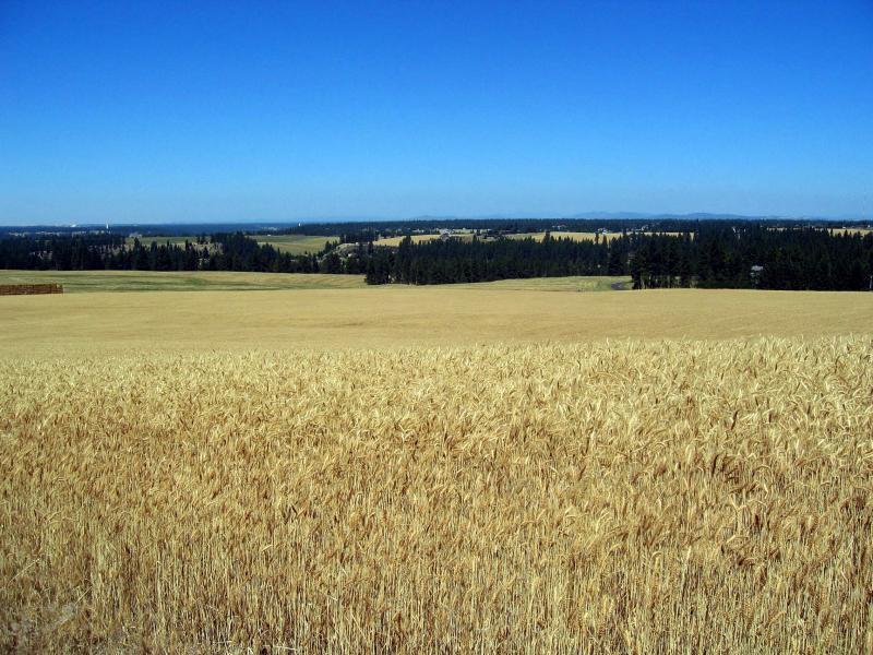 wheat & blue skies