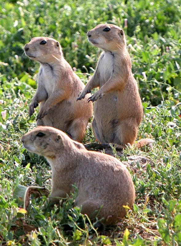 Prarie dogs