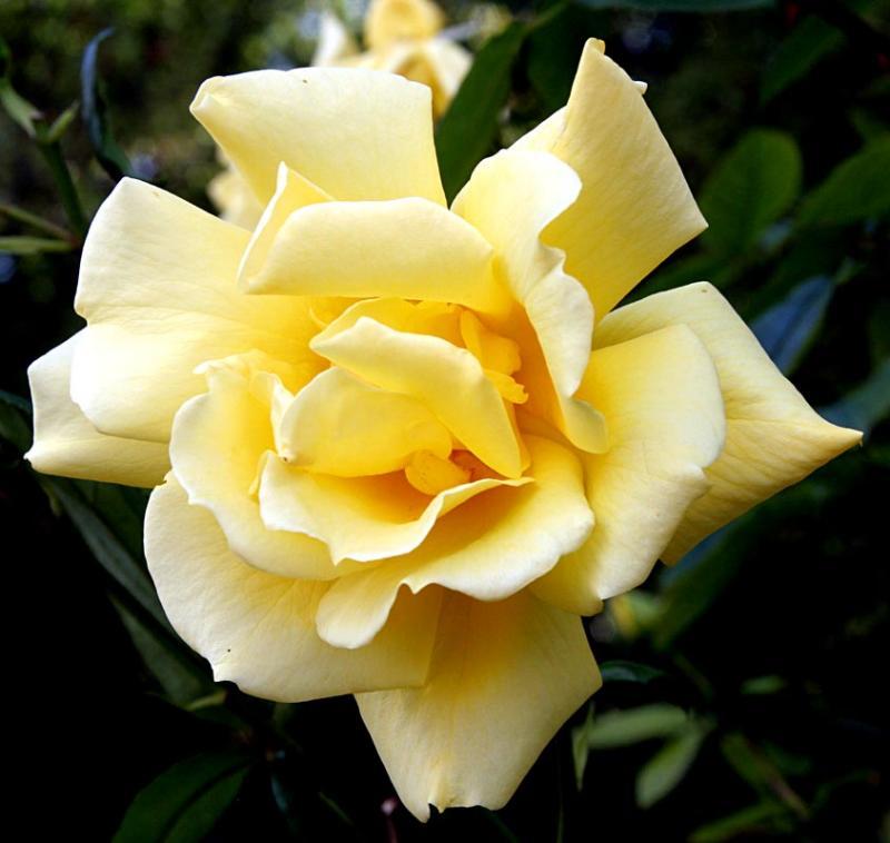 Rose - Sues mothers garden in Crewe