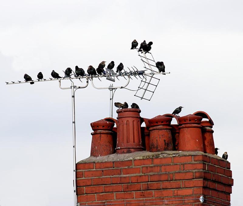 Birds on the TV antenna