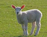 Lamb in Yarm