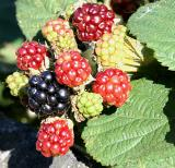 Berries - a sign of the end of summer