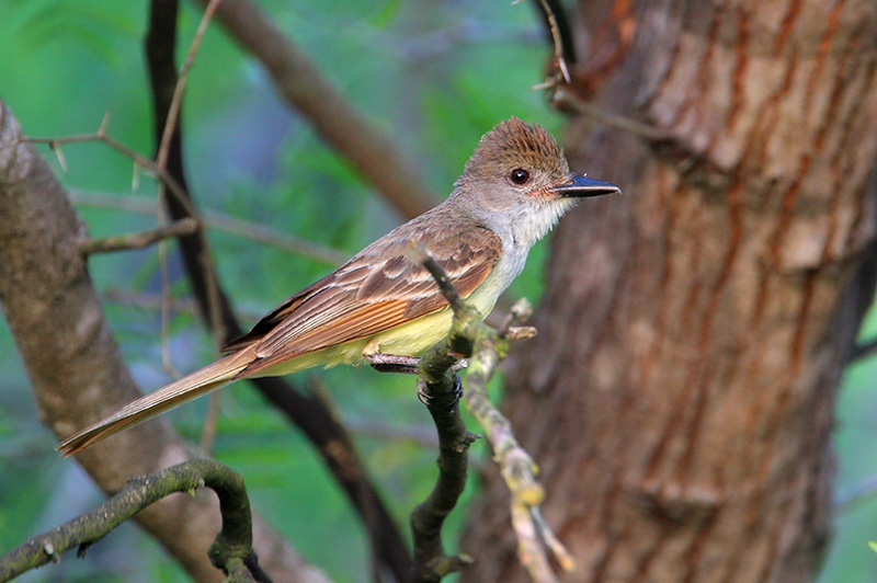 Brown-crested Flycatcher