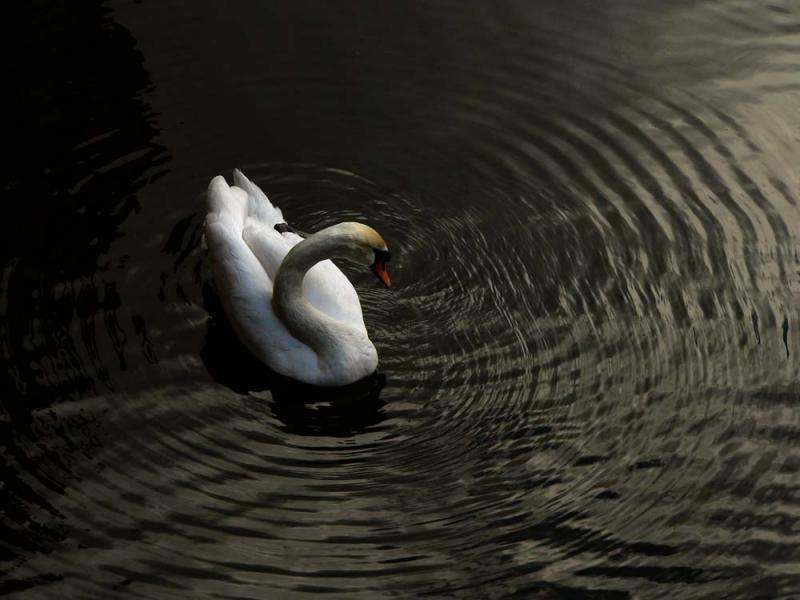 Swan vibes, Bruges, Belgium, 2005
