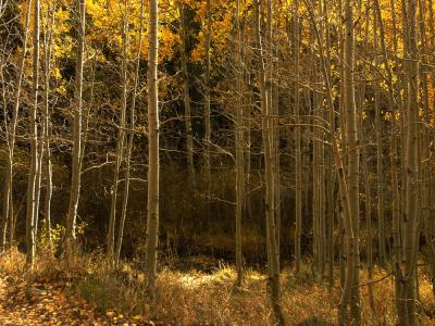 Aspen Forest, near Lee Vining Canyon, California, 2004