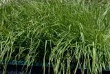 WT Wheat Grass