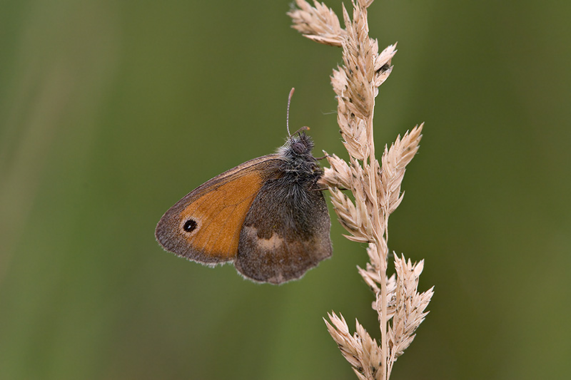 Coenonympha pamphilus, the Small Heath