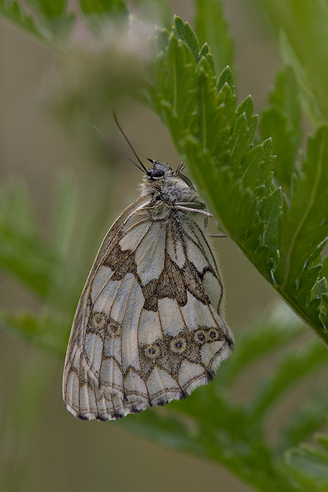 Marbled White waiting for Rain