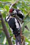 Great spotted woodpecker fledgling