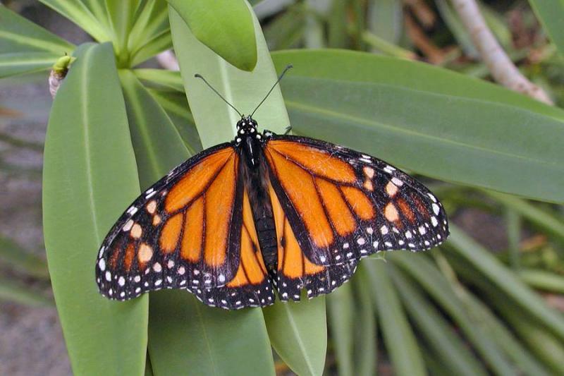 Male Monarch II