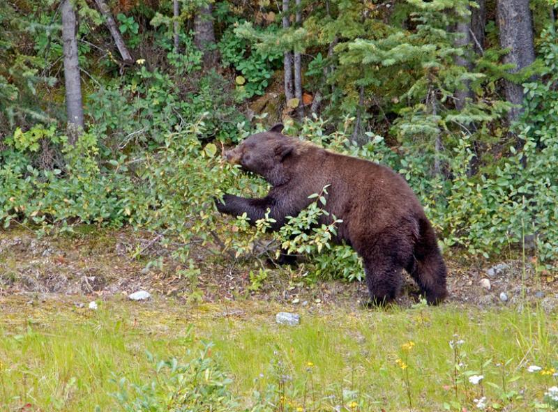Bear....ry pickin