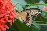 King/Thoas Swallowtail (Papilio thoas) Butterflies