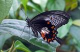 Papilio memnon  (Great Mormon - female) 3