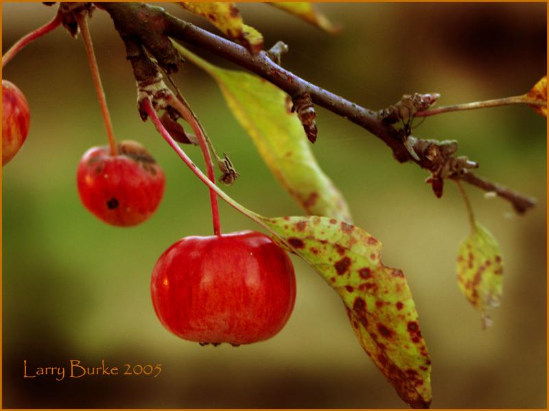 Crab apple , taken just out side our house near the duck pond