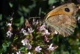 Mariposa sobre flor de tomillo