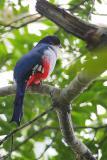 Tocororo. Pájaro emblema nacional de Cuba