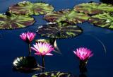 Water Lilies, Longwood Gardens
