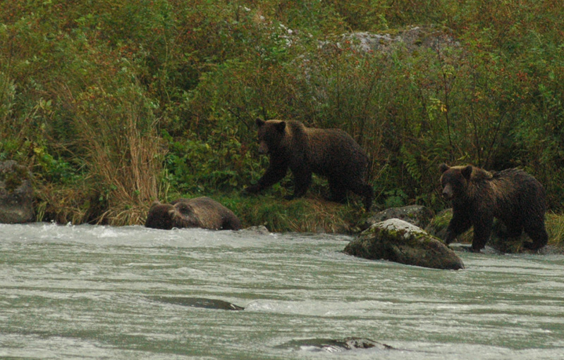 haines grizzly pair hunt for salmon.jpg