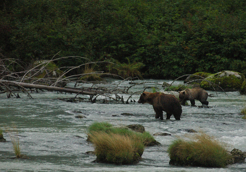 Haines grizzly salmon hunt1.jpg
