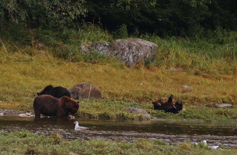 pack creek grizzlies.jpg