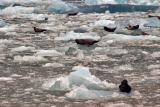 iceberg seals 1.jpg