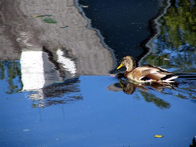 le canard reflet