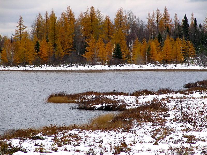 les mélèzes roux du Lac Noir