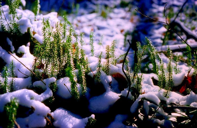 lycopodes dans la neige