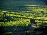 la vigne , Valais