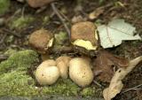 Boletus parasiticus opt.jpg
