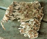 Trichaptum biforme on birch bark .jpg