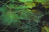 Anastomosing mycelial hyphae on underside of bark 01 PK1.JPG
