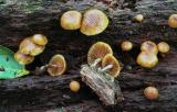 Galerina autumnalis -01 PK1.JPG