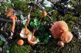 Laccaria laccata var. pallidifolia 01 PK1.JPG