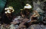 Lentinellus cochleatus 01 PK1.JPG
