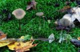 Lyophyllum palustre 01 PK1.JPG