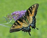 Tiger Swallowtail (female)