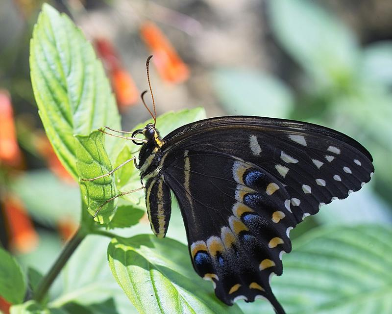 Papilio palamedes - palamedes swallowtail