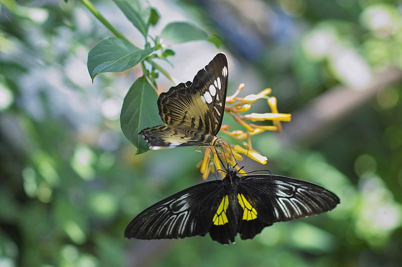Troides rhadamanthus (birdwing) and Parthenos sylvia (clipper)