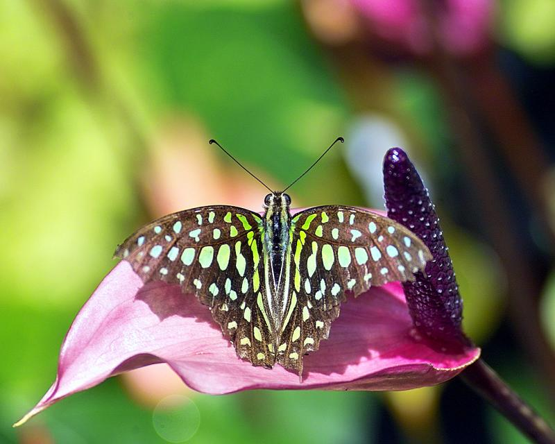 Graphium agamemnon (tailed jay) on anthurium