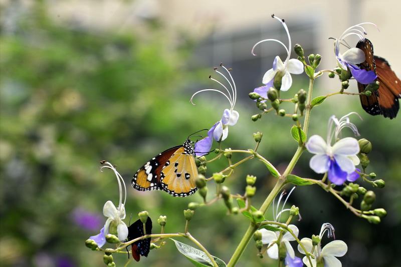 Danaus chrysippus (plain tiger) on blue butterfly