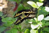 Papilio thoas (thoas swallowtail)
