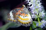 Cethosia hypsea (malay lacewing) on anise hyssop