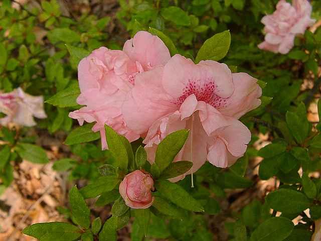 Pink Gloria Tetra