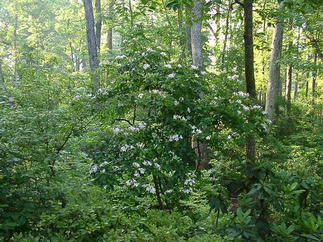 <i>arborescens</i>