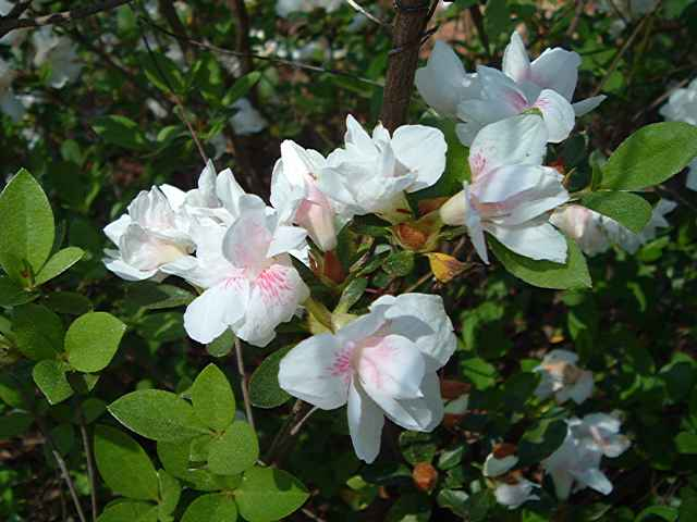 Gardenia Supreme