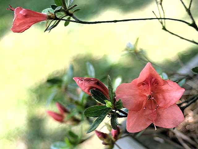 Pink Cascade