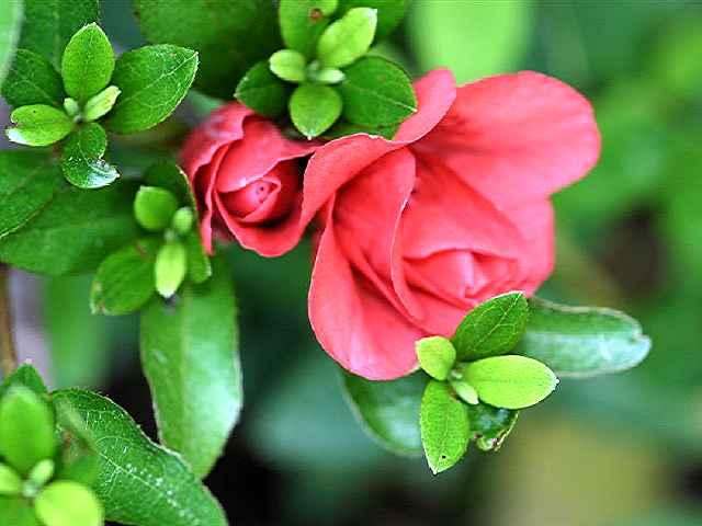 Rosebud ?