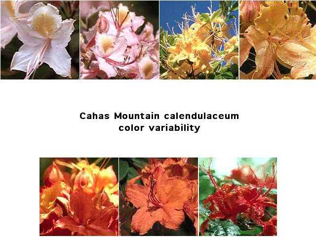 Cahas Mountain <i>calendulaceum</i>