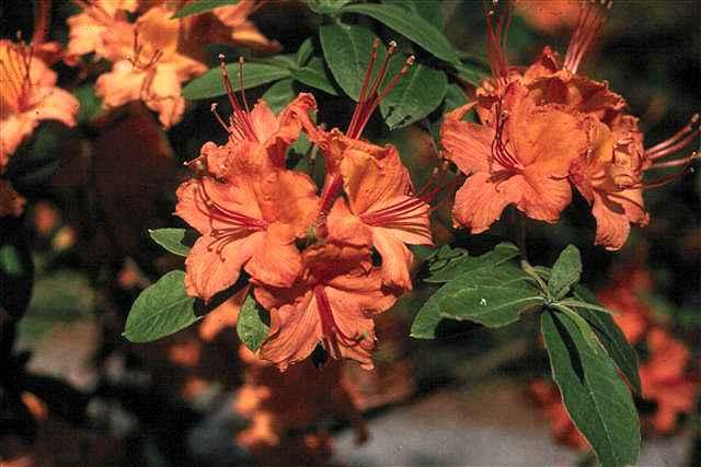 Cahas Mountain Best Orange